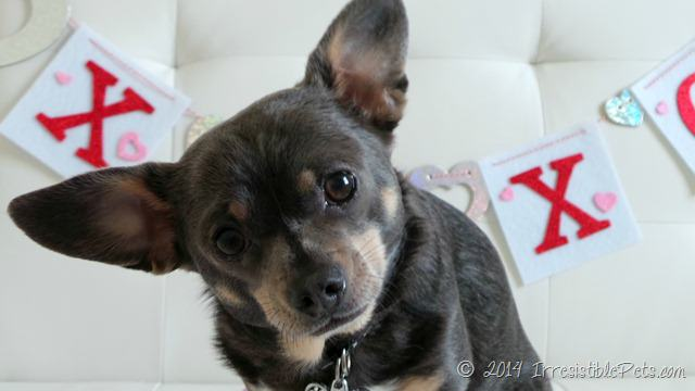 Chihuahua with heart murmur