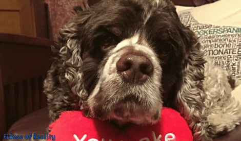 Cocker spaniel heart murmur