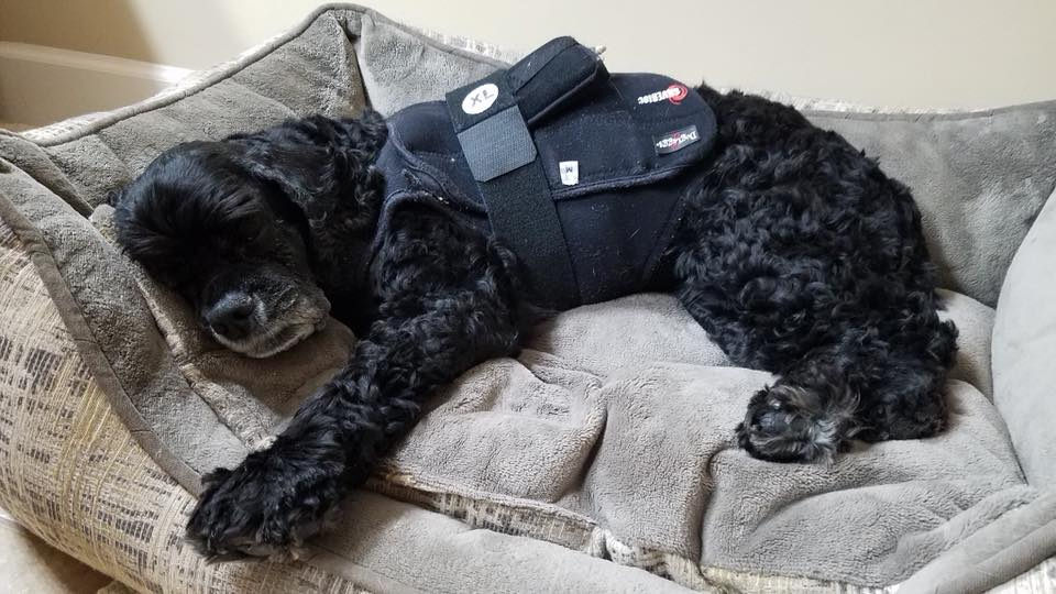 Cocker spaniel with Holter monitor