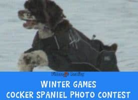 Cocker Spaniel Winter Games Photo Contest