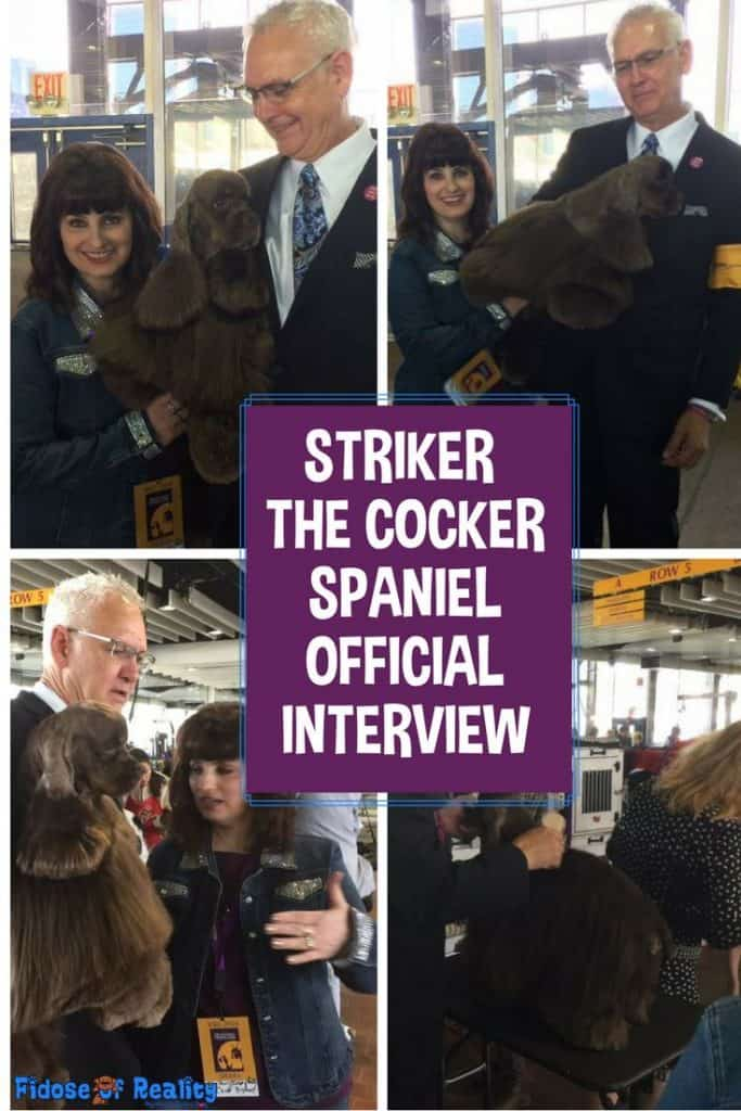 Cocker Spaniel Striker