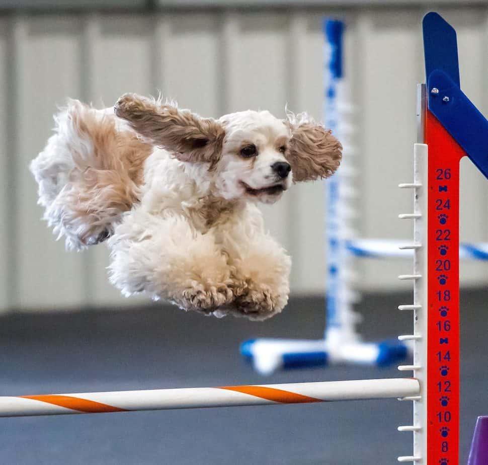 dog agility cocker