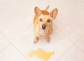 How to Potty Train an Adult Dog