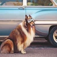 dog travel car
