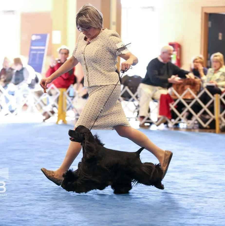 Cocker spaniel in show ring