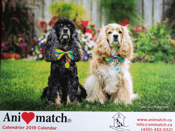 Cocker Spaniels on calendar