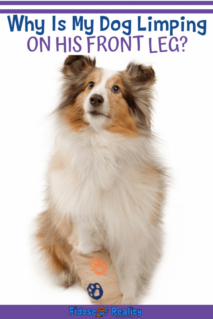 learn why a dog limps on his front leg