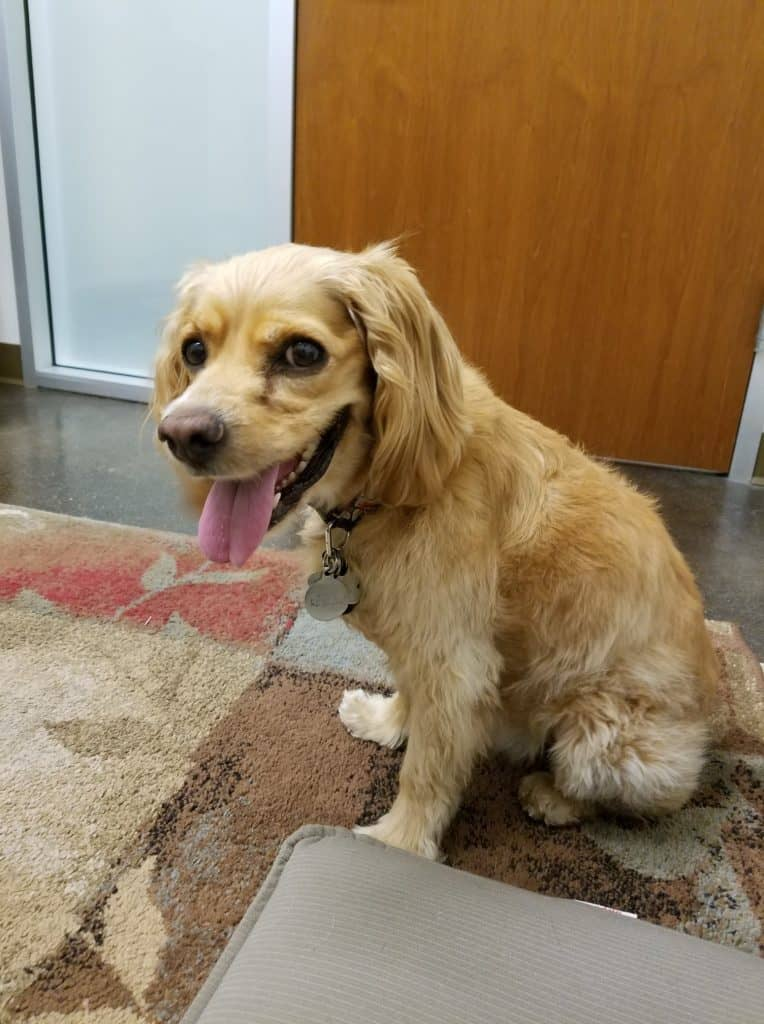 Cocker Spaniel with lymphoma