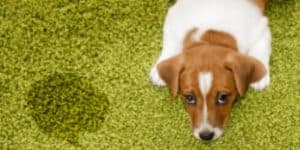 how to remove dog urine stains