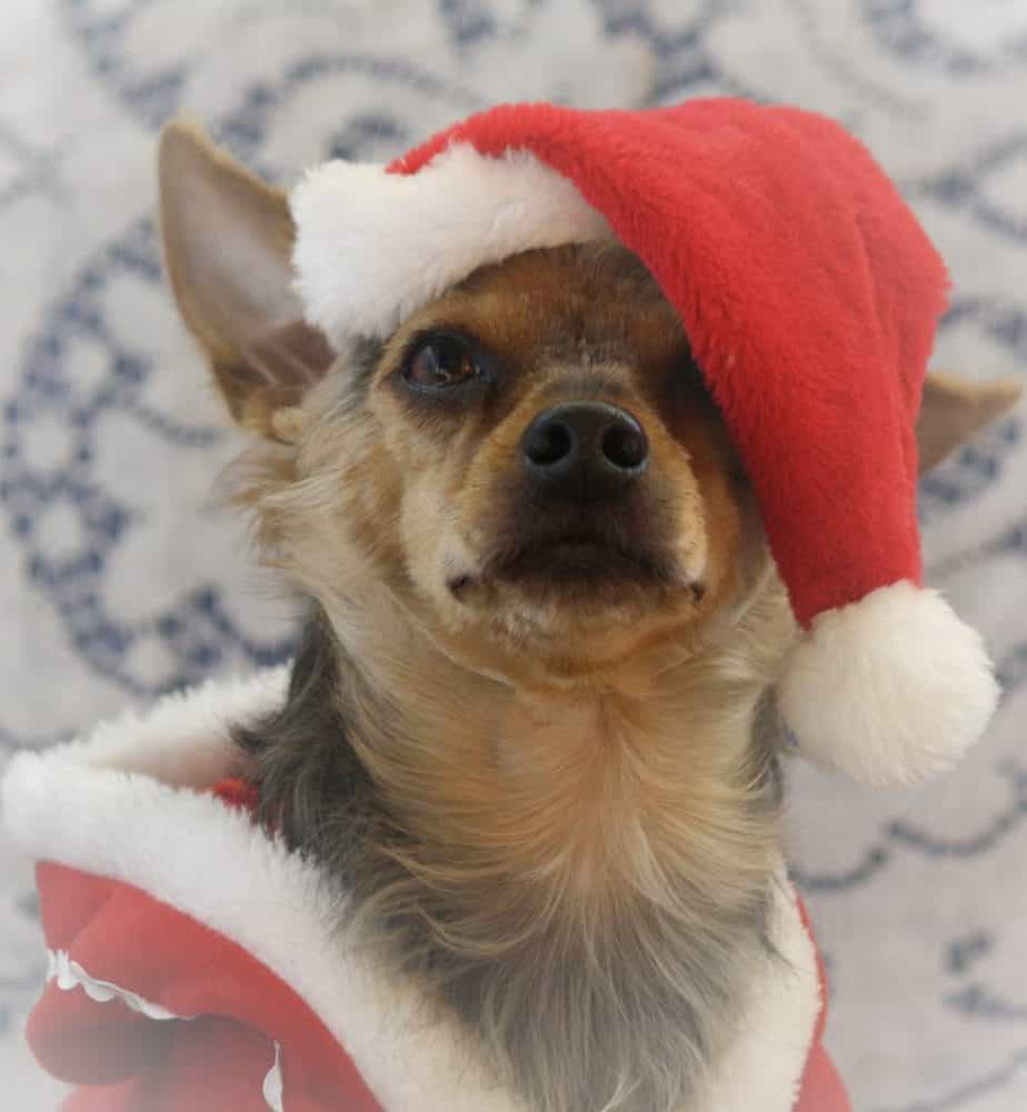 dog in santa hat photo contest