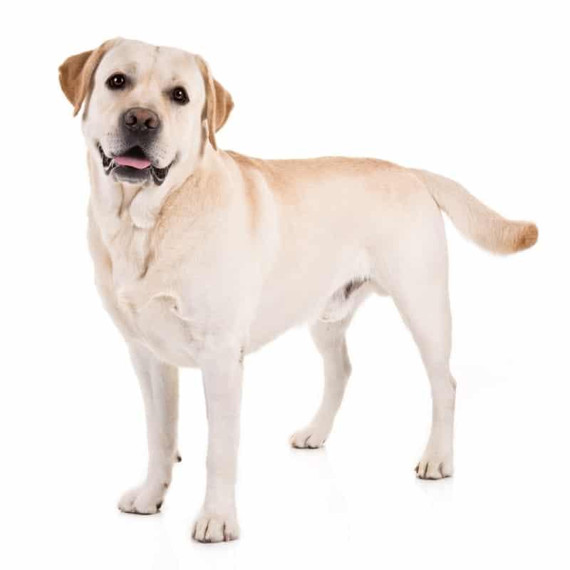 dog popular labrador retriever