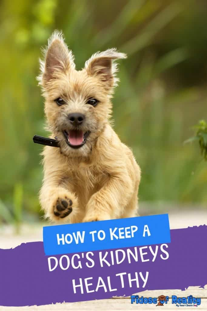 How to keep a dog's kidneys healthy