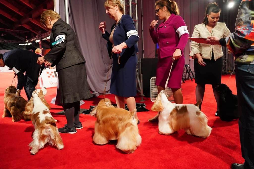 dog show spaniels