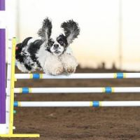 cocker spaniel jump fence