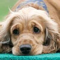 dog with colitis feels sick