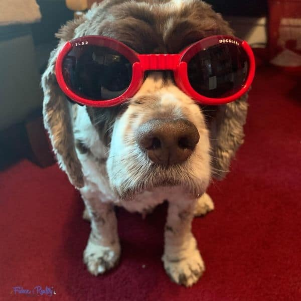 dog wearing protective sunglasses