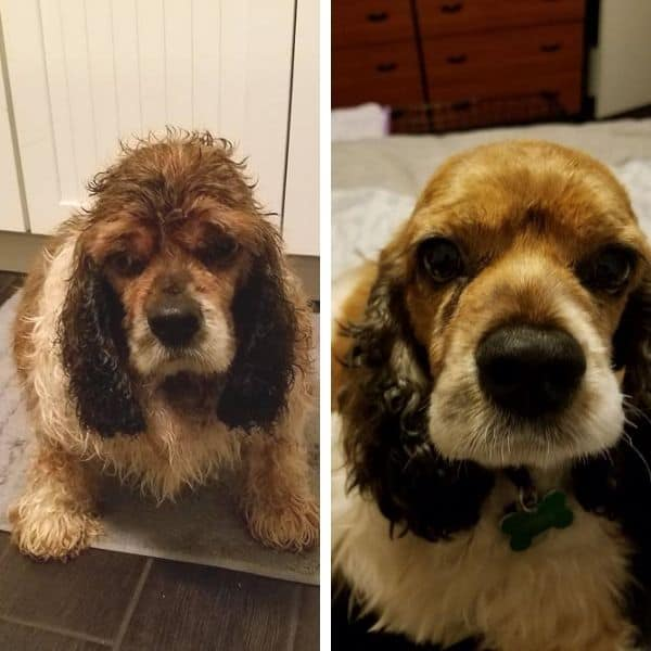 Before and after Cocker Spaniels adopted