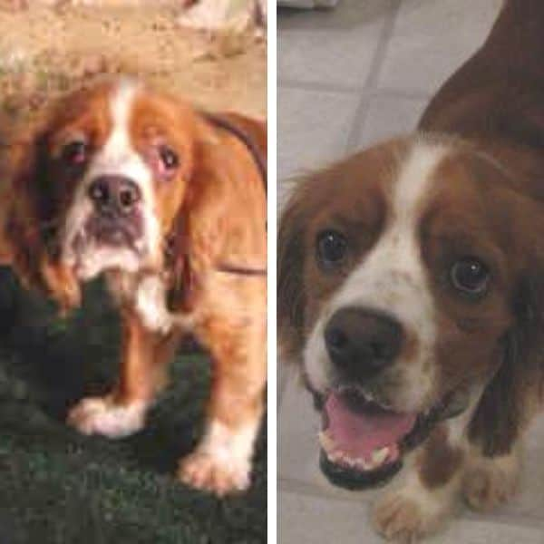 Cocker Spaniel foster before and after