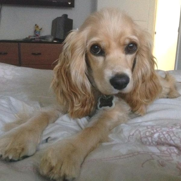 Cocker Spaniel needed home