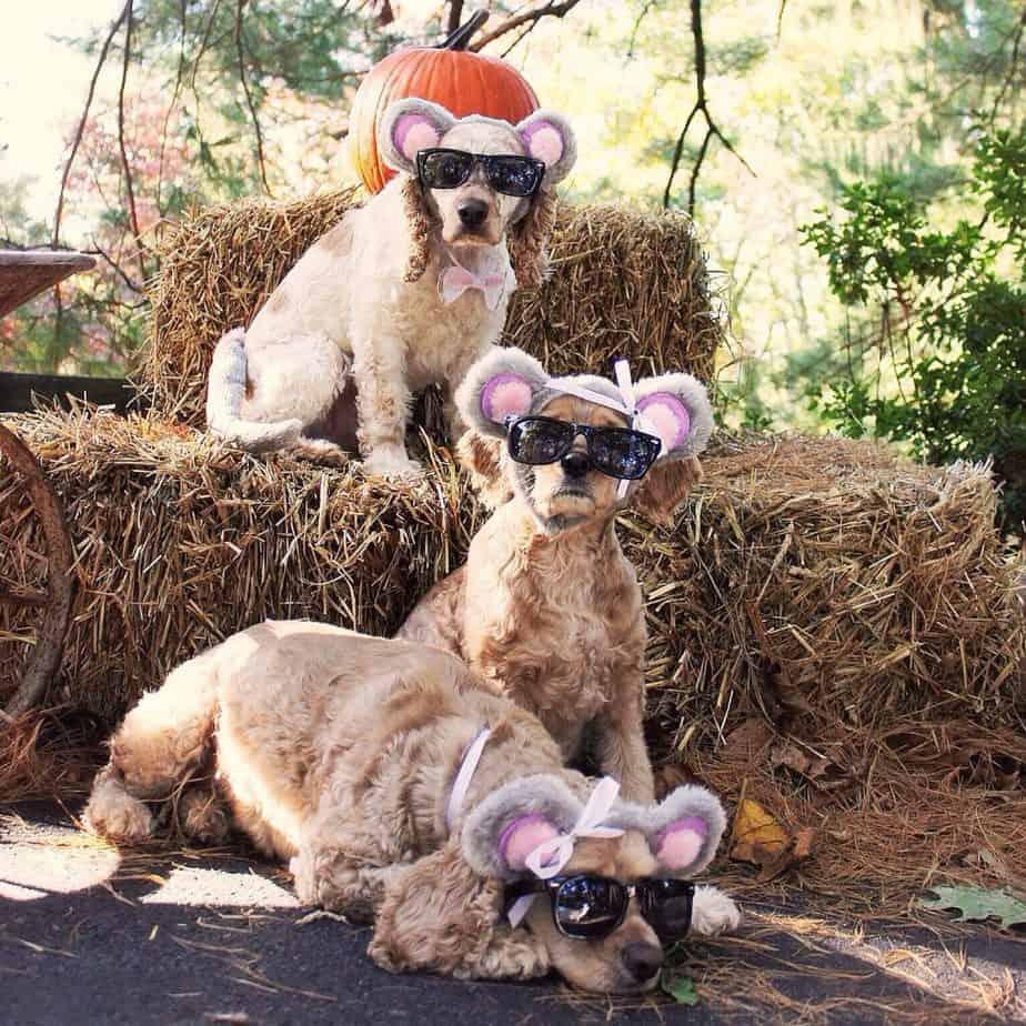 three blind mice cocker spaniels