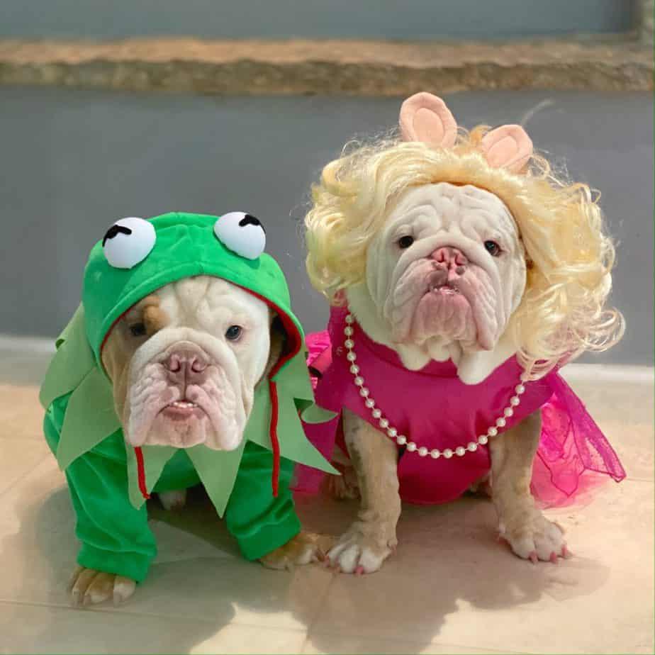 Bulldogs in Halloween costumes