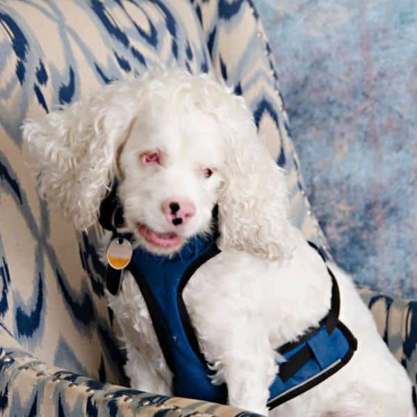 blind merle cocker spaniel
