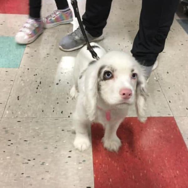 Merle Cocker Spaniel puppy