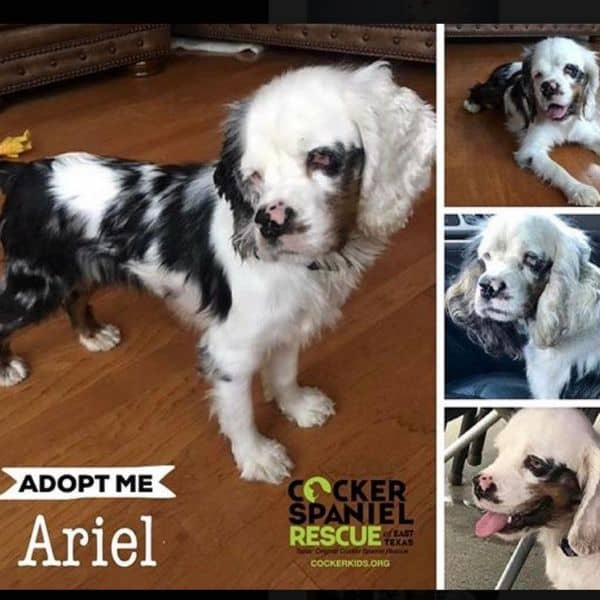 Merle Cocker Spaniel dog rescue