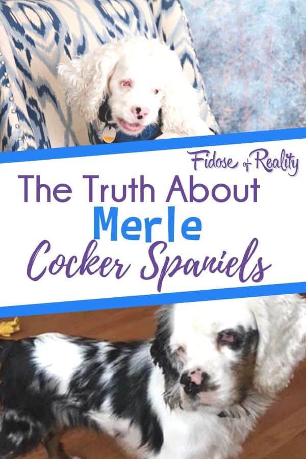 the truth about merle cocker spaniels