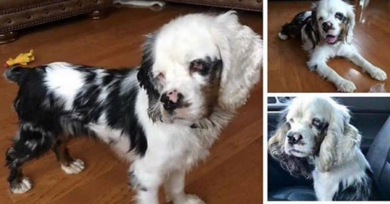 The Truth Behind The Merle Cocker Spaniels Controversy