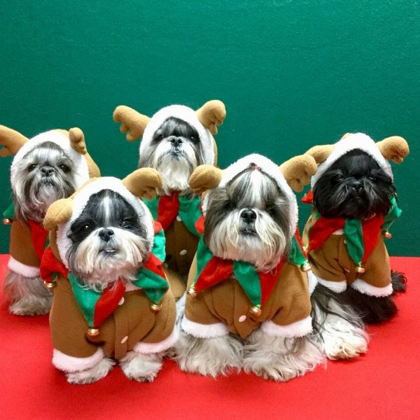 Gingerbread shih tzus photo contest honorable mention
