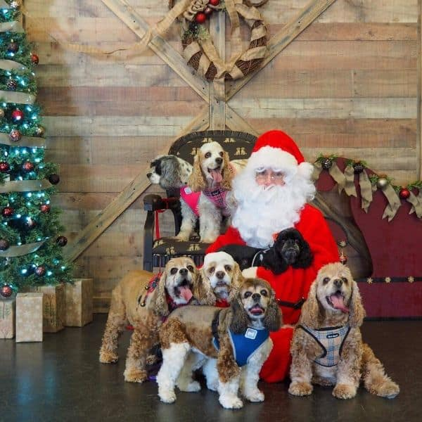 Santa Claus winners with Cocker Spaniels