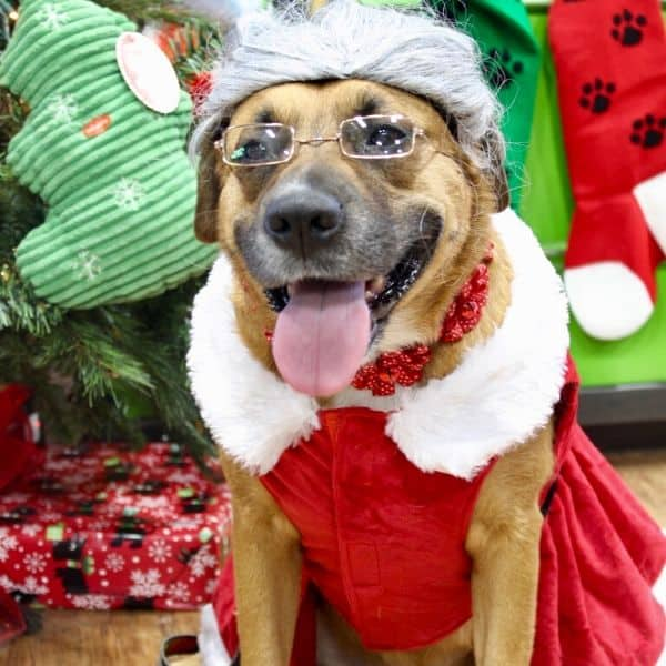 dog dressed as Mrs. Claus