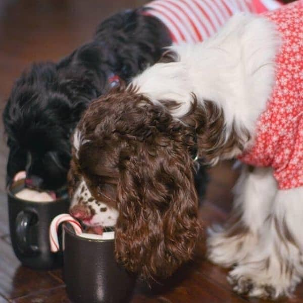 cocker spaniels christmas fun