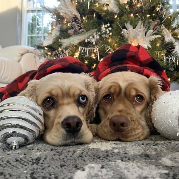 Cockers curled up by Christmas tree