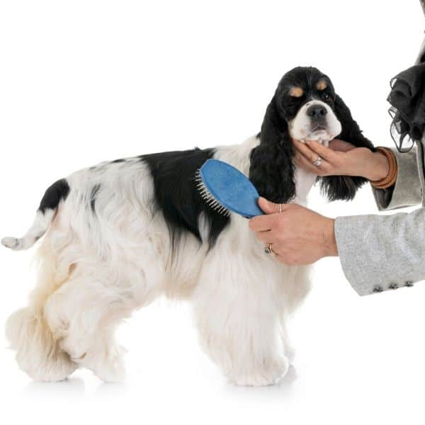 Cocker Spaniel grooming and anal sacs