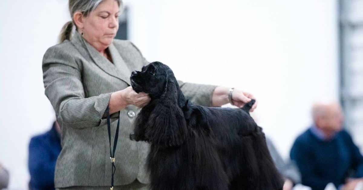 Cocker Spaniel in dog show