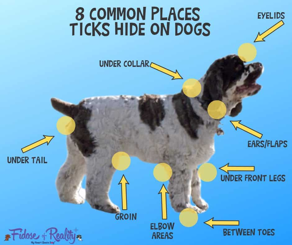 common places ticks hide on dogs