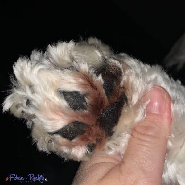 Cocker Spaniel paw with yeast