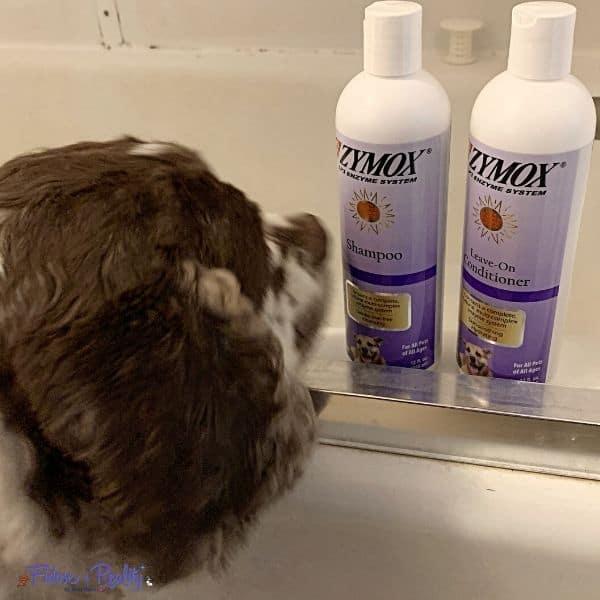 cocker spaniel looking at shampoo