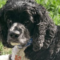 help for itchy cocker spaniels