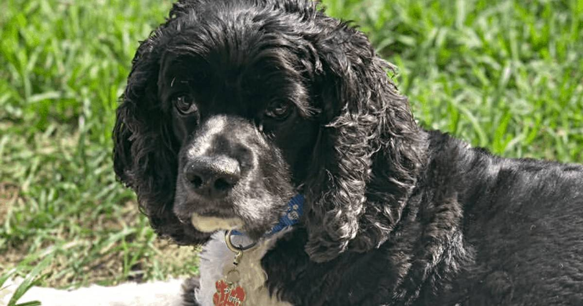 The Itchy Cocker Spaniel: 4 Quick And Easy Fixes For Dogs