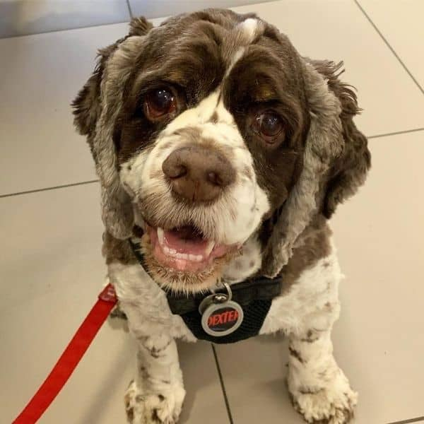 Cocker spaniel at eye doctor visit
