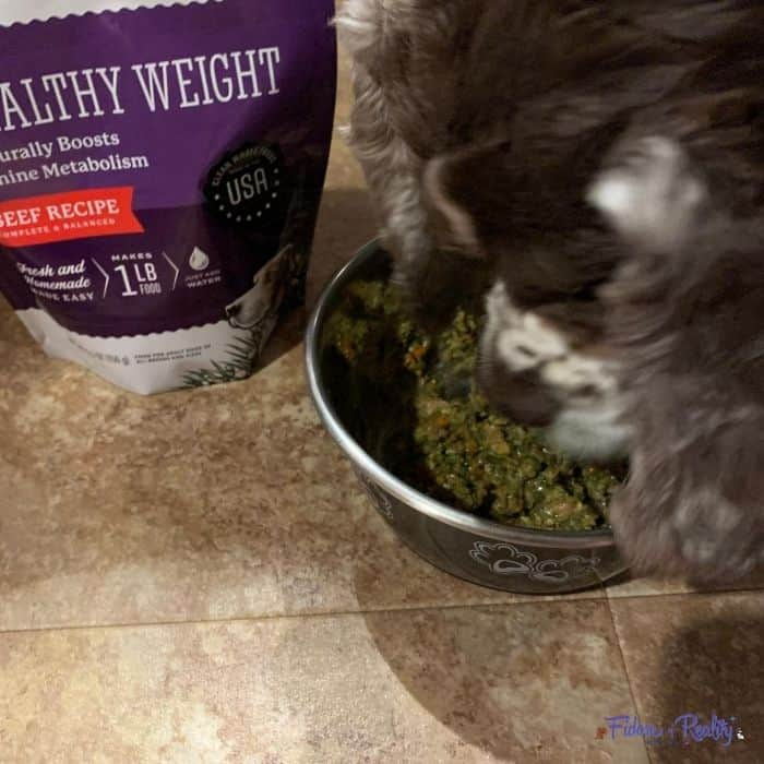 Cocker Spaniel eating healthy dog food for weight loss