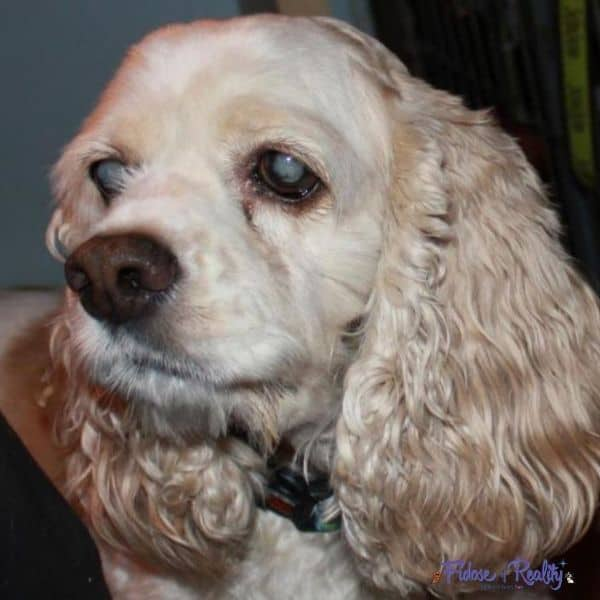 blonde cocker spaniel who has cataracts