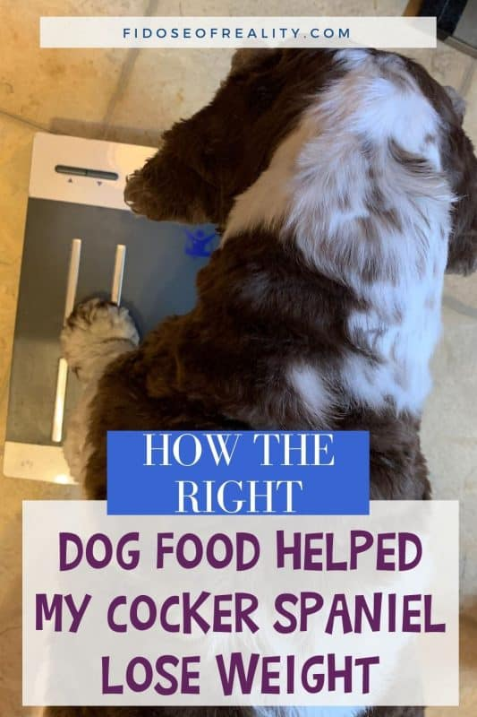 How dog food helped my Cocker Spaniel lose weight