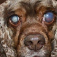 cataract treatment for dogs