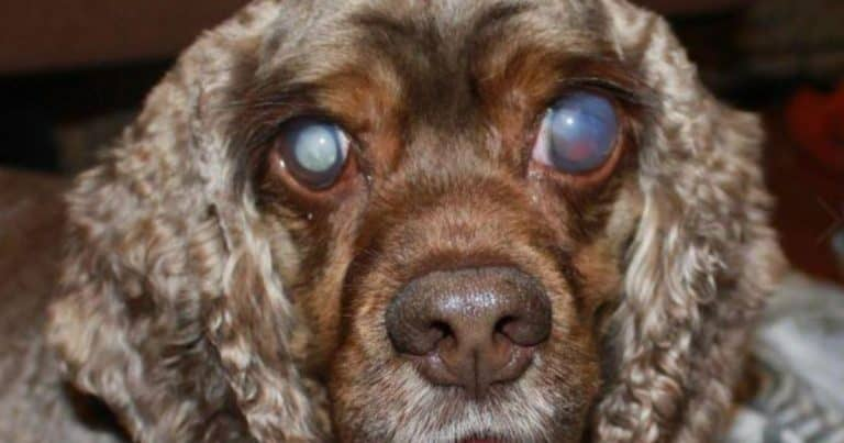 Cataract Treatment In Dogs: How To Help A Dog's Eyes