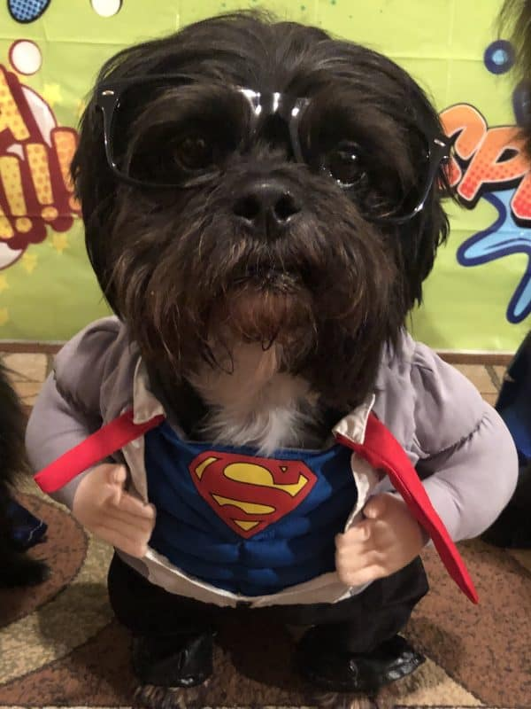 Superman dog for Halloween