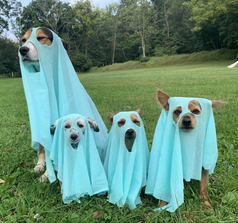 dogs dressed as ghosts for Halloween photo contest